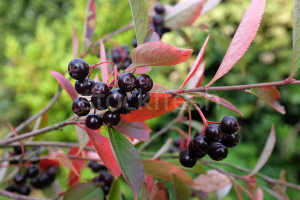 Chokeberry plant with dark red berries Stock photo © sarahdoow