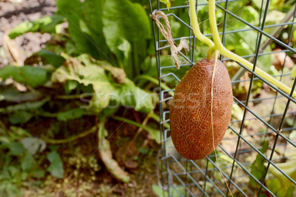 Brown Russian cucumber growing on the vine Stock photo © sarahdoow