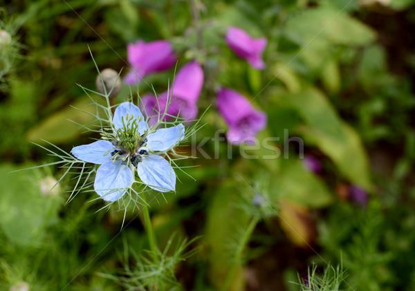 Blady niebieski kwiat rozwój pełny kwiat łóżko Zdjęcia stock © sarahdoow