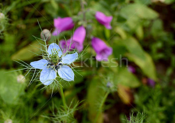 Pale blue nigella - love-in-a-mist - flower  Stock photo © sarahdoow