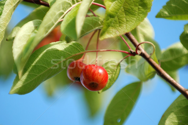 Shiny red crab apples hanging from the tree Stock photo © sarahdoow