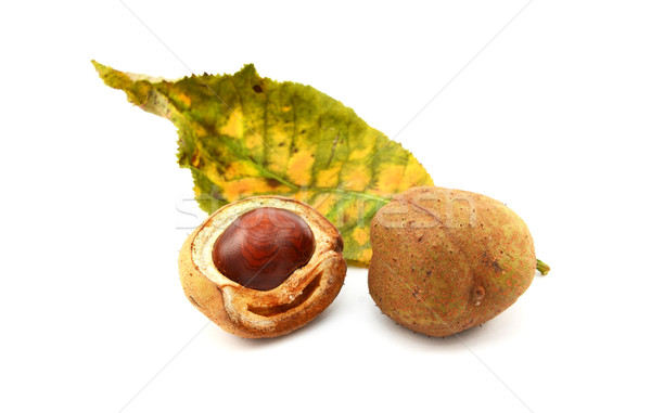 Red horse chestnut tree leaf and conker cases and seed Stock photo © sarahdoow
