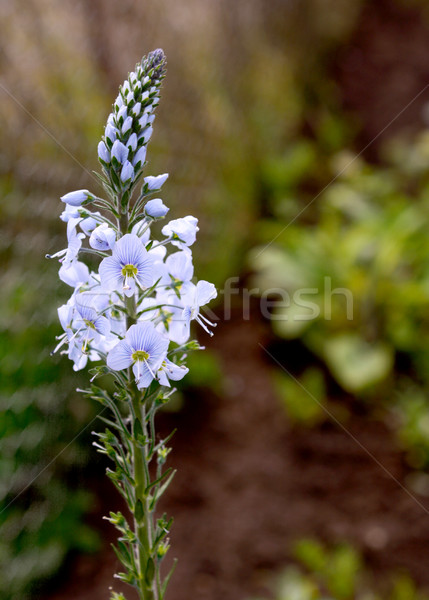 Blue flowers of speedwell plant  Stock photo © sarahdoow