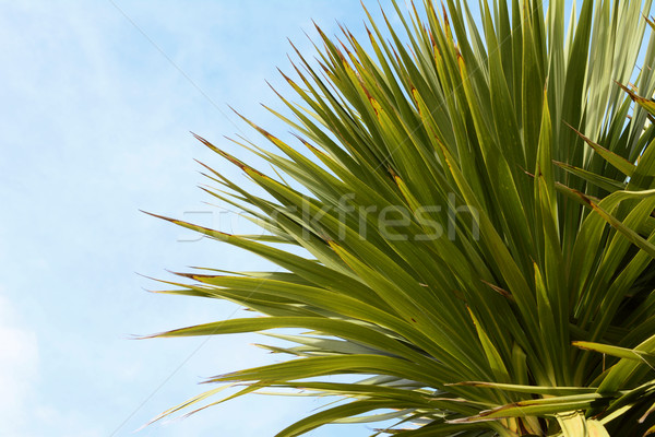Green yucca tree top  Stock photo © sarahdoow