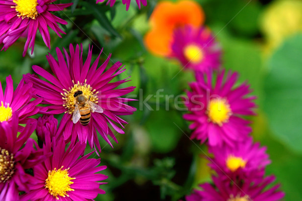Nectar pollen marguerites abeille Photo stock © sarahdoow