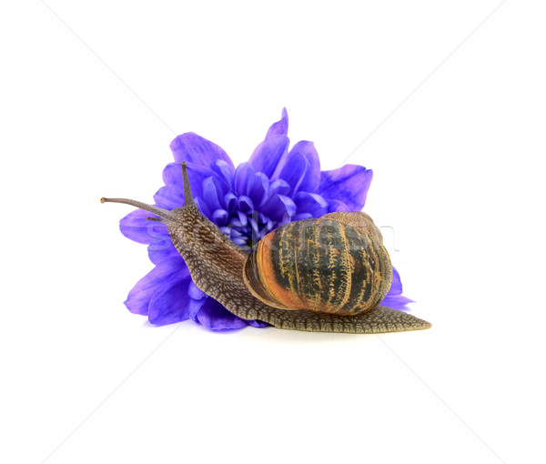 Jardin ravageur escargot bleu chrysanthème jardin de fleurs Photo stock © sarahdoow