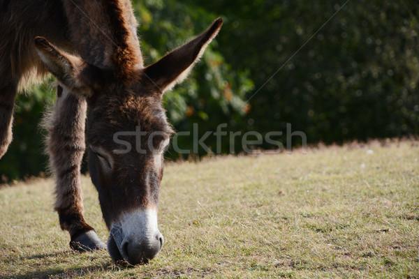 Ezel nieuwe bos gezicht gras Stockfoto © sarahdoow