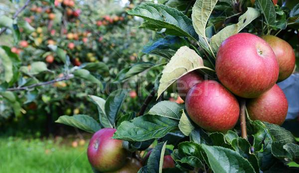 Stock fotó: Piros · almák · érett · szőlőszüret · gyümölcsös · tele
