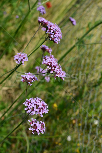Stalks of verbena, topped with tiny purple flowers Stock photo © sarahdoow