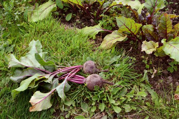 Twee bieten gras lijn planten paars Stockfoto © sarahdoow