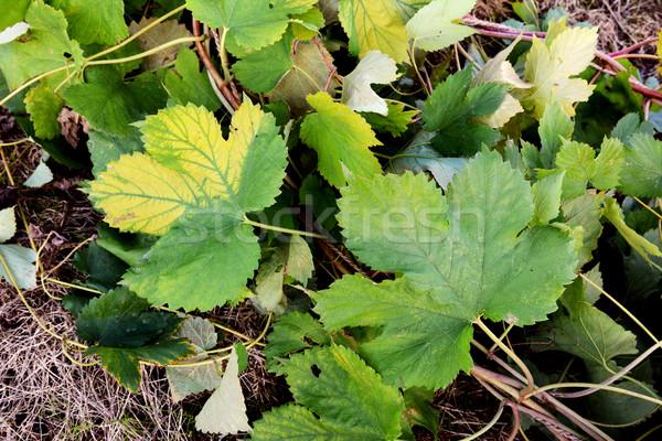 хмель винограда листьев зеленый тропе землю Сток-фото © sarahdoow