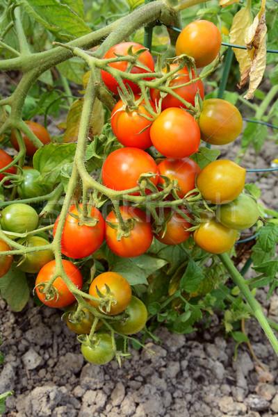 Tomato plant trusses, heavily laden with fruit Stock photo © sarahdoow