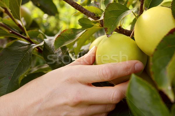 Szőlőszüret zöld alma ág nő érett Stock fotó © sarahdoow