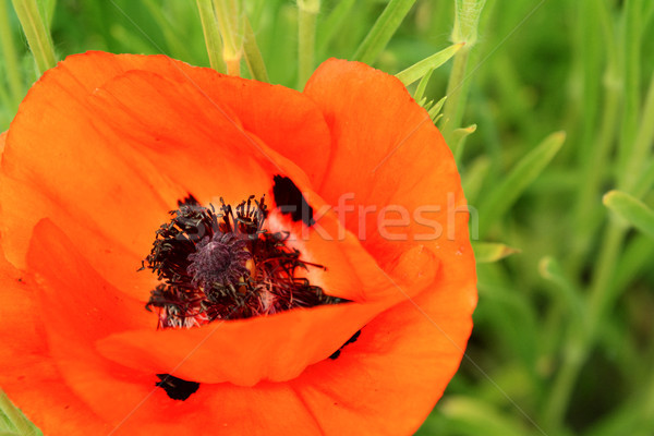 Vibrante rojo amapola flor negro exuberante Foto stock © sarahdoow