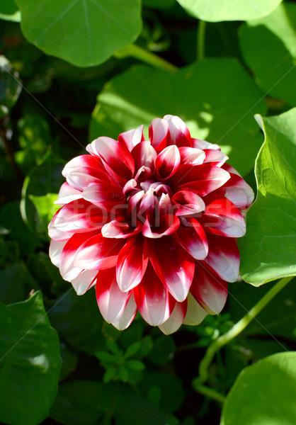 красный георгин цветок лепестков довольно капли воды Сток-фото © sarahdoow