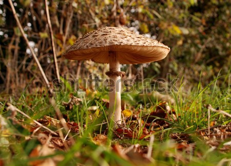 Large mushroom surrounded by grass and autumn leaves Stock photo © sarahdoow