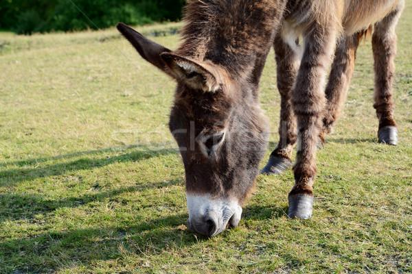 Vriendelijk ezel nieuwe bos eten Stockfoto © sarahdoow