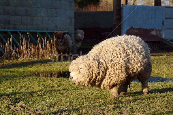 Greyface Dartmoor sheep with thick curly fleece Stock photo © sarahdoow