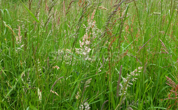 Diverse grasses and seed heads Stock photo © sarahdoow