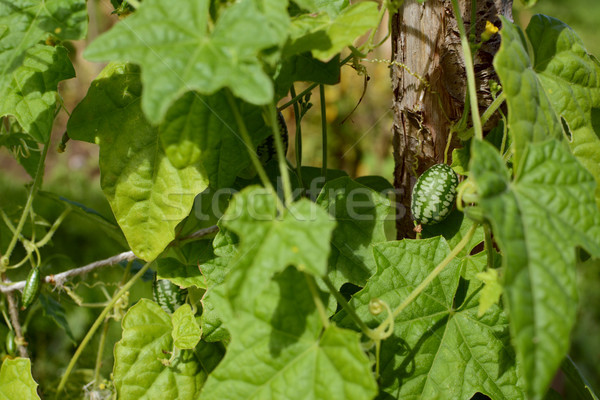 Green cucamelon among foliage Stock photo © sarahdoow