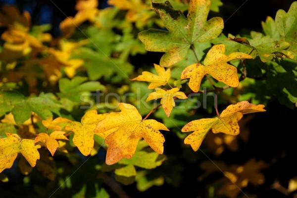 Foto d'archivio: Giallo · verde · foglie · acero · luce · del · sole
