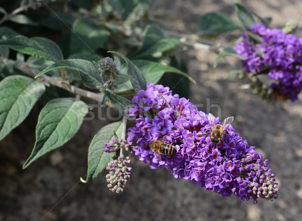 Dwa nektar fioletowy kwiaty kwiat Zdjęcia stock © sarahdoow