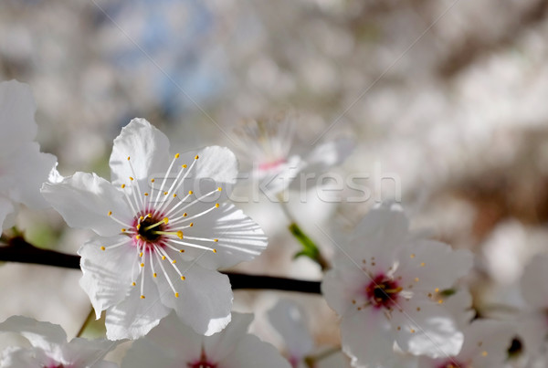 Delicate white blossom against blurred background  Stock photo © sarahdoow