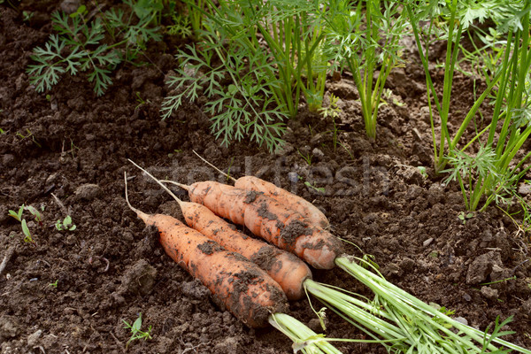 Harvested carrots, covered in soil Stock photo © sarahdoow