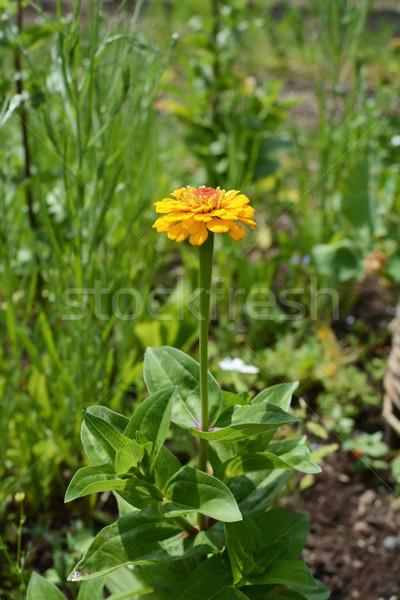 Zinnia plant with bold yellow flower  Stock photo © sarahdoow