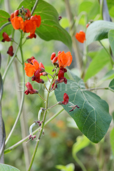 Growth on a runner bean vine Stock photo © sarahdoow
