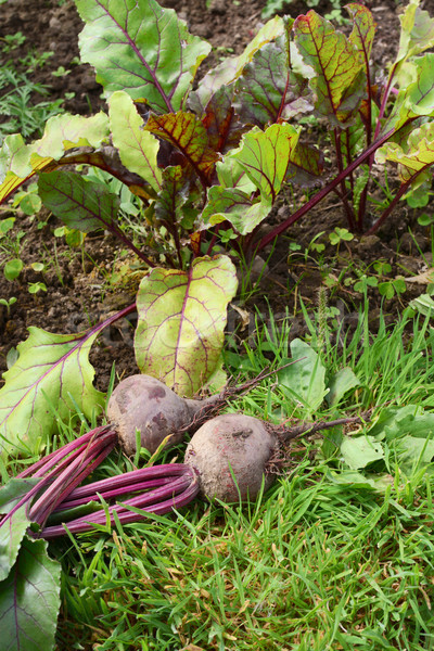 Vegetable bed with freshly picked beetroot Stock photo © sarahdoow
