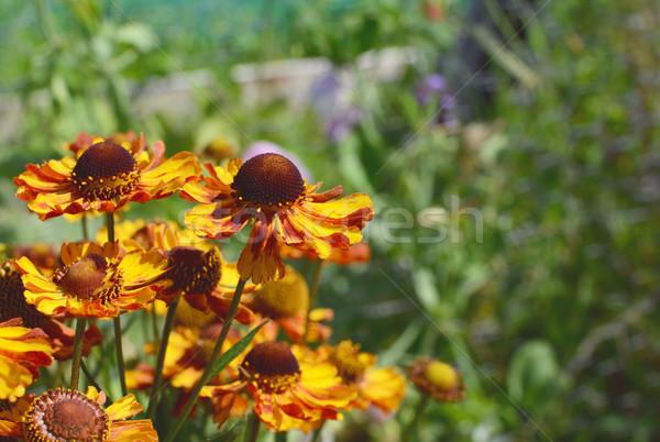 グループ 黄色 赤 花 コピースペース ストックフォト © sarahdoow