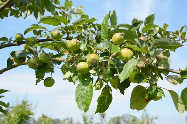 Stock fotó: Almafa · ág · gyümölcs · kicsi · zöld · almák