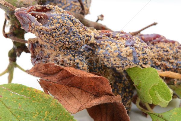 Mouldy, withered plum fruits and dead leaves Stock photo © sarahdoow