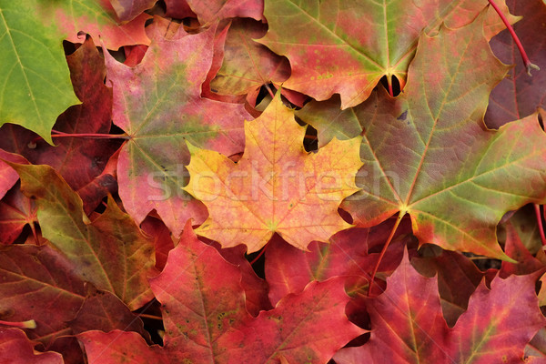 Yellow maple leaf on a heap of leaves Stock photo © sarahdoow