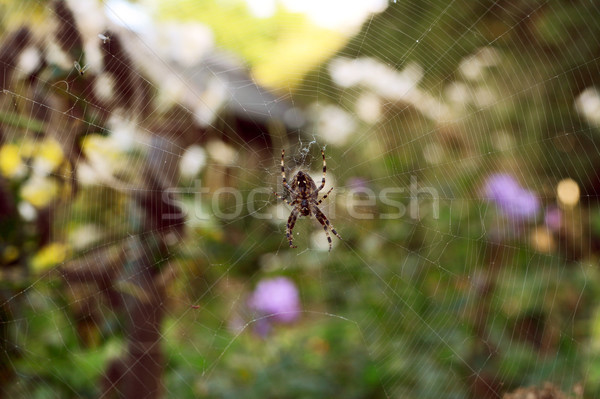 European garden spider sits on a tangled web Stock photo © sarahdoow