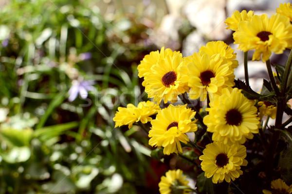 Pequeno amarelo crisântemo flores foco jardim Foto stock © sarahdoow