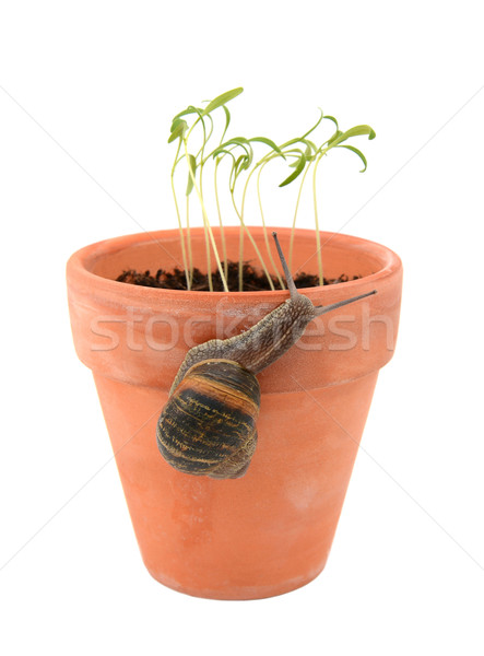 ストックフォト: 庭園 · カタツムリ · 登山 · 植木鉢 · 攻撃 · 小さな