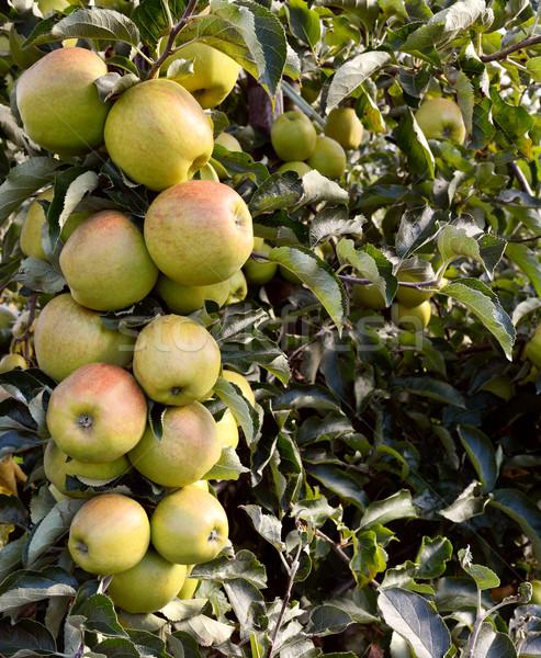 Stock fotó: Tele · zöld · almák · kész · fa · gyümölcs