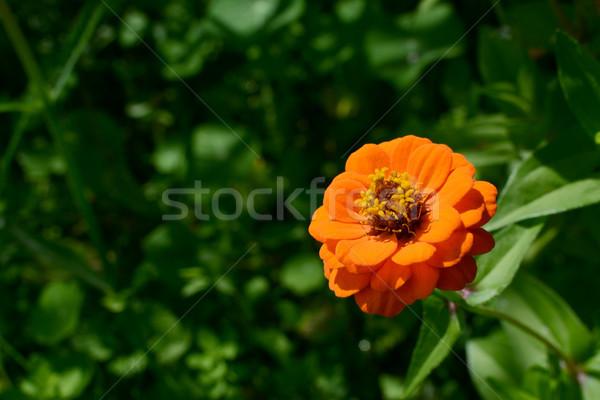 Heldere oranje bloem diep groene loof Stockfoto © sarahdoow