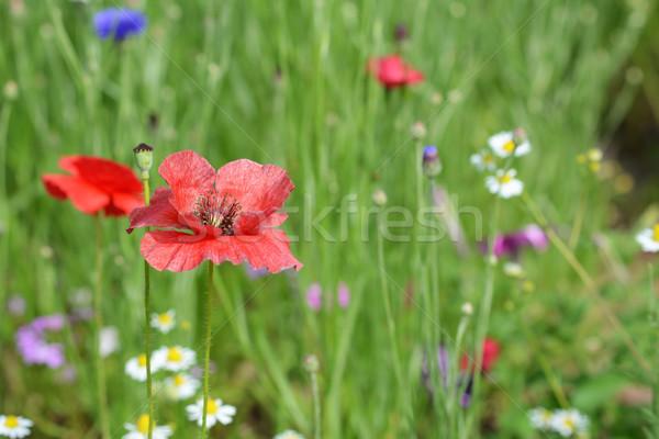 Vermelho papoula flor vento flores silvestres Foto stock © sarahdoow