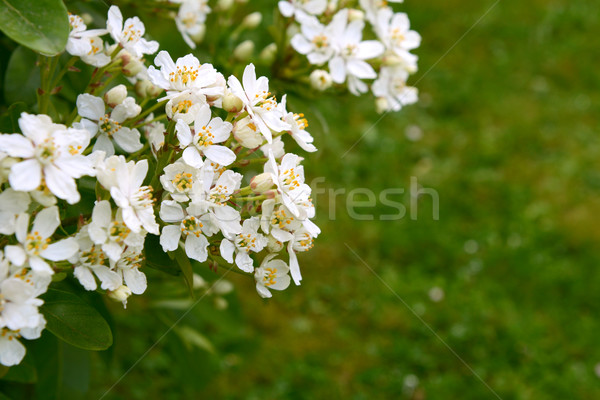 Fragrant white choisya flowers against green grass background Stock photo © sarahdoow