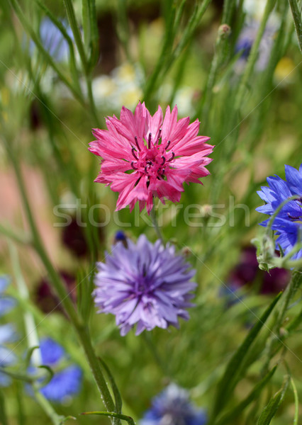 Vivid pink cornflower - bachelors button Stock photo © sarahdoow