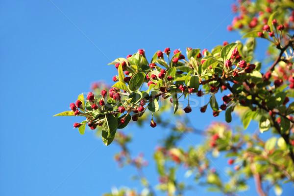 Foto stock: Cangrejo · manzana · rama · rosa · flor · flor · rosa