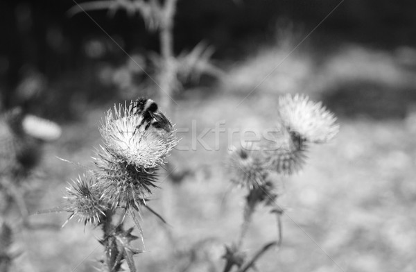 Bumblebee on Scottish emblem, the thistle Stock photo © sarahdoow