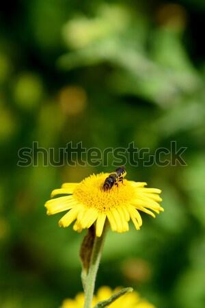Bee taking nectar from a yellow fleabane flower Stock photo © sarahdoow