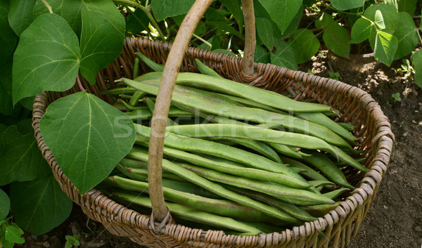 Woven basket filled with freshly picked runner beans Stock photo © sarahdoow