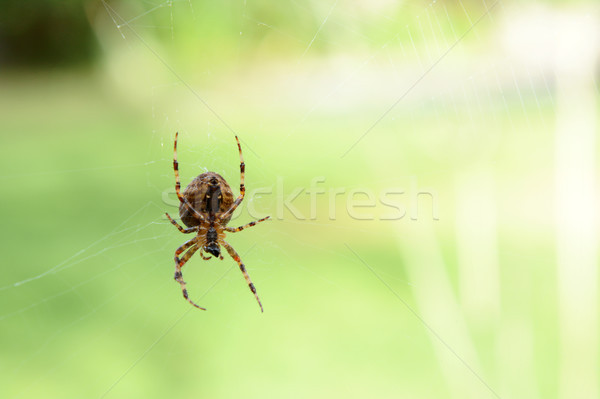 Orb weaver spider on its cobweb  Stock photo © sarahdoow