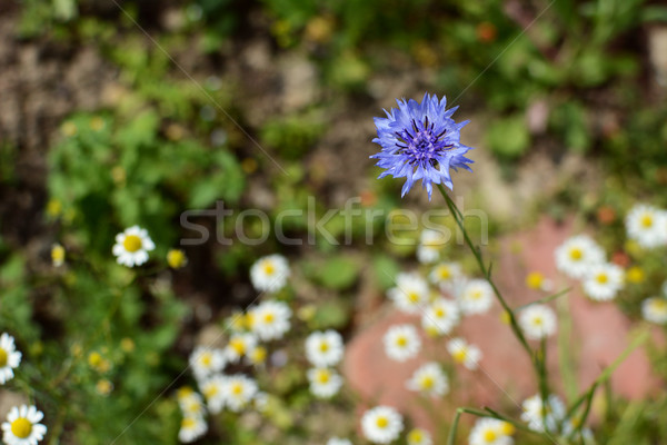 Single blue cornflower against a background of mayweed  Stock photo © sarahdoow
