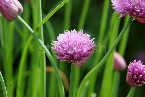 Closeup of a chive flower head Stock photo © sarahdoow